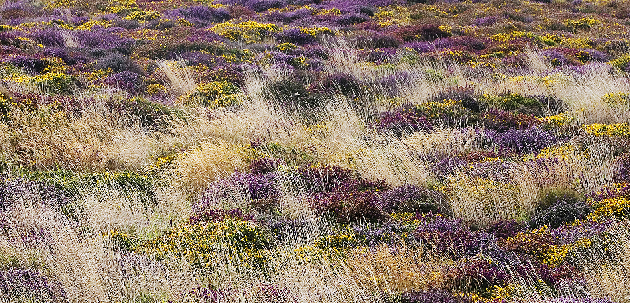 Heather-gorse- lands-end
